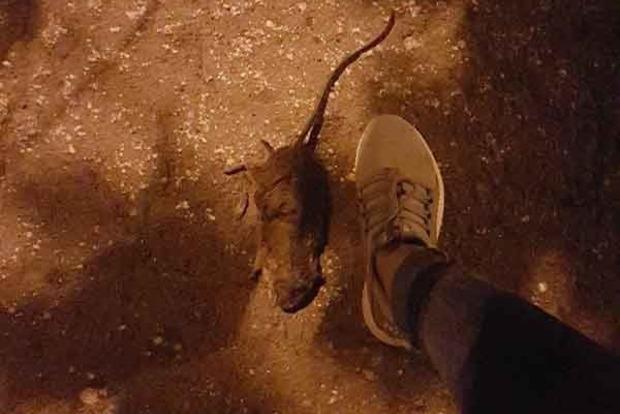 Улицы оккупированного Севастополя заполнили крысы