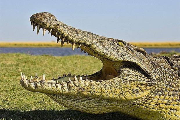 Обнаружены останки гигантских крокодилов, обитавших в океанах