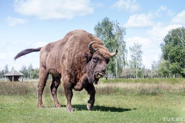 В Беларуси меняют законодательство по зубрам. В угоду охотникам или для контроля популяции?