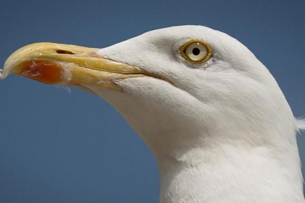 Британку задержали за выгул чайки на поводке