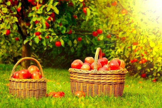 Сегодня отмечается Яблочный Спас: лето уступает свои права осени