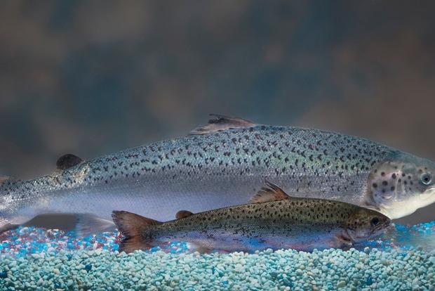 В Канаде поступил в продажу генномодифицированный лосось. На очереди - куры, свиньи и коровы