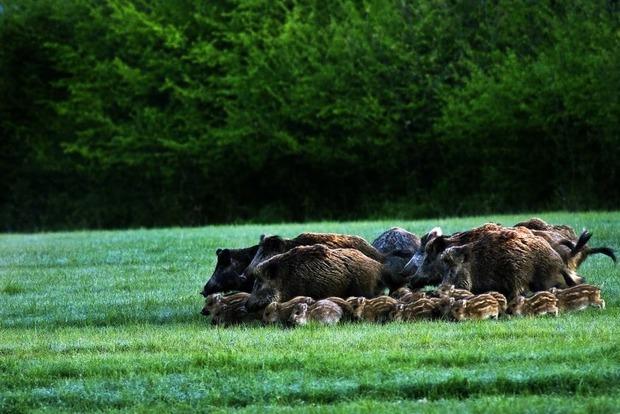 Во дворы Запорожья  забрело 20 диких кабанов