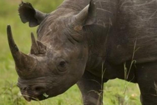 В Танзании власти дали сутки на поиски пропавшего черного носорога
