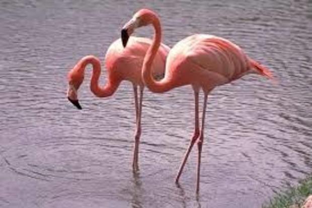Ученые поставили мертвых фламинго на одну ногу