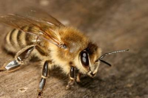 Оскаженілі бджоли непустили російський літак доанексованого Криму