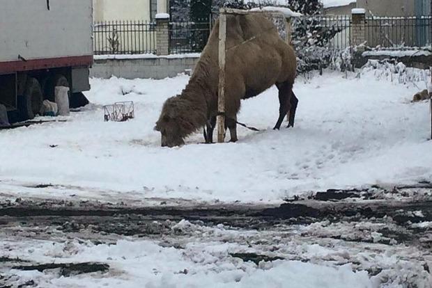 Цирк-шапито бросил верблюда погибать в Тернопольской области