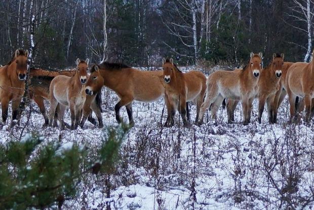 Удивительные дикие животные нашли убежище в Чернобыльской Зоне