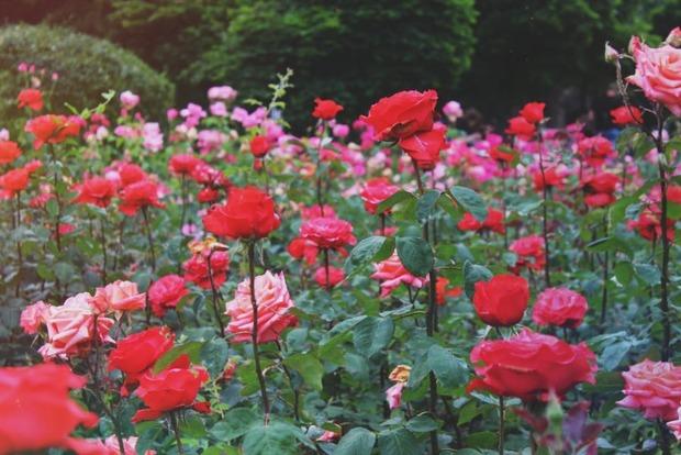 Донецкие переселенцы посадили во Львове розы