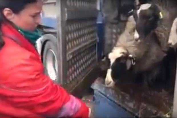Подыхают от голода: на одесской таможне 12 дней стоит контейнер с полуживыми овцами