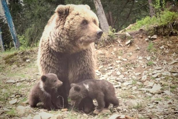 В Нацпарке Синевир впервые родились двое медвежат