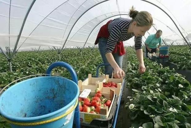 Влада Польщі введе податок на працевлаштування сезонних працівників