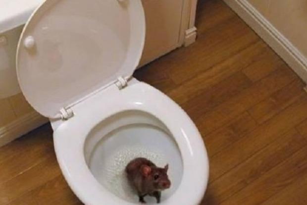 Плохой знак: в Днепре мыши и крысы массово лезут в квартиры