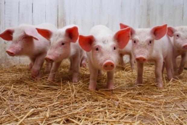 В селе на Харьковщине  введен карантин из-за африканской чумы свиней