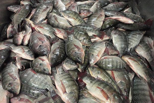 За последний год рейдеры «отжали» 2 тысячи тонн рыбы – эксперт