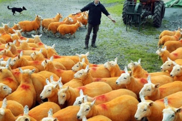 Британский фермер покрасил 800 овец в оранжевый цвет