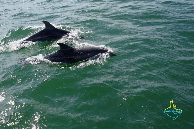 В Тузловских лиманах появились афалины. Директор природного парка призвал бойкотировать дельфинарии