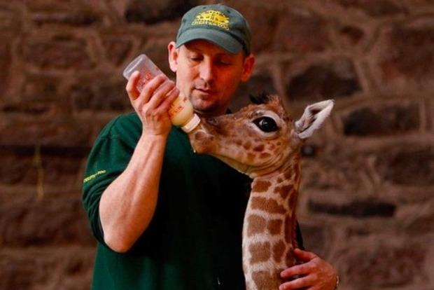 В зоопарке Бельгии родился детеныш жирафа