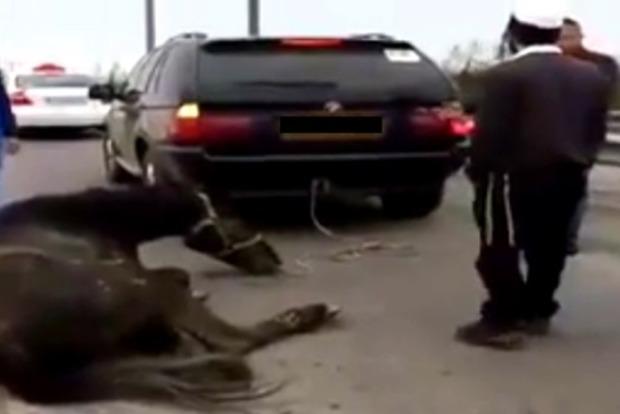В Умани хасиды тянули за машиной живую лошадь, прокуратура завела дело