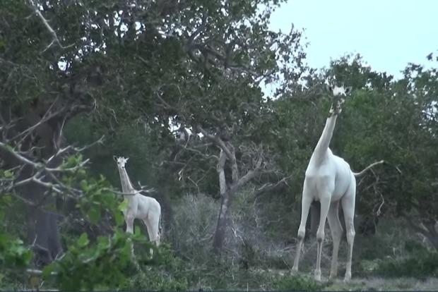 В Кении замечены редкие белые жирафы