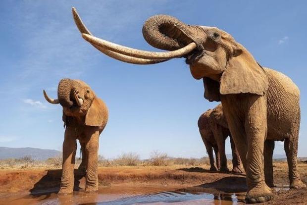 В Кении умерла слониха с огромными бивнями