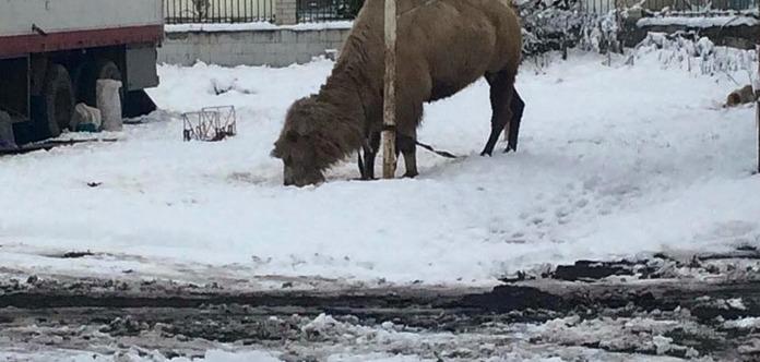 Цирк-шапіто кинув верблюда гинути на Тернопільщині