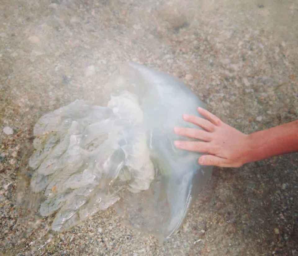 Побережье Азовского моря усеяно тоннами огромных ядовитых медуз