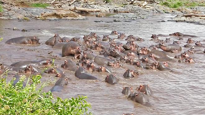 ВТанзании несколько десятков бегемотов напали накрокодила