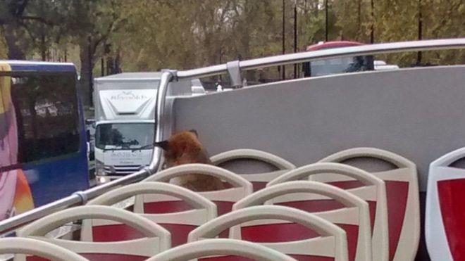 Встолице Англии лиса «зайцем» покаталась натуристическом автобусе